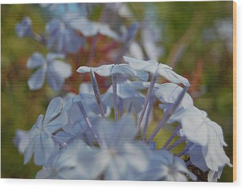 Plumbago Puffs Wood Print by Jean Booth