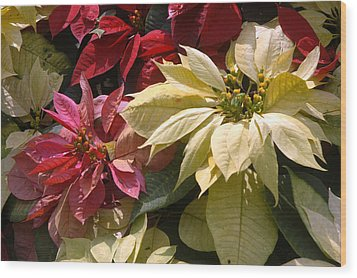 Poinsettias At Doi Tung Palace Wood Print by Anne Keiser