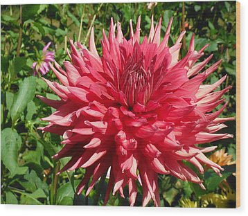 Pointed Pink Dahlia  Wood Print