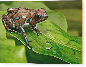 poison art frog Panama Wood Print by Dirk Ercken
