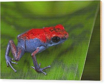 poison dart frog Escudo Wood Print