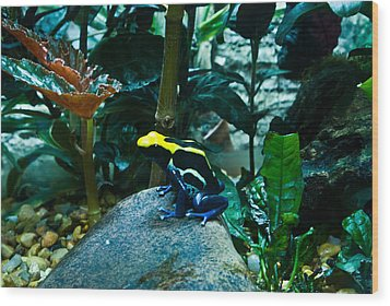 Poison Dart Frog Poised For Leap Wood Print