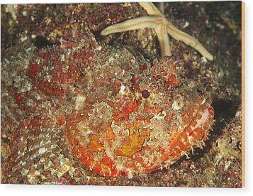 Poisonous Stone Fish, Scorpaena Mystes Wood Print by James Forte