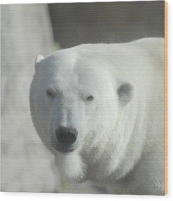 Polar Bear Wood Print by Curtis Gibson