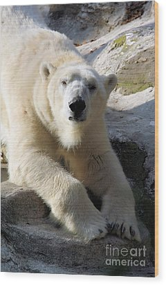Polar Bear Wood Print by Karol Livote
