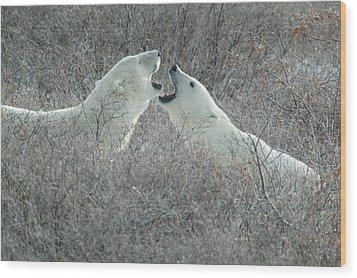 Polar Bears Jawing Wood Print