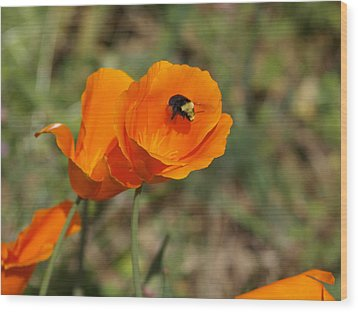 Poppy Beeing Admired Wood Print by Laura Allenby
