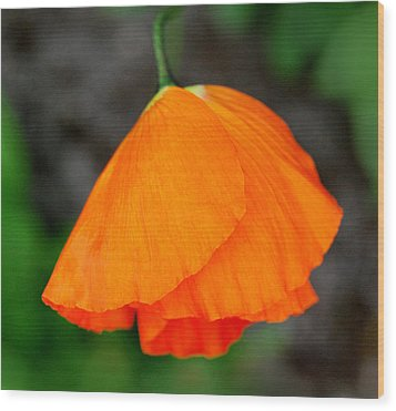 Poppy Wood Print by Marilynne Bull