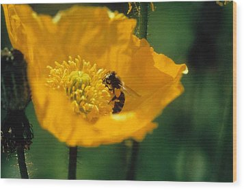 Poppy With Bee Friend Wood Print by Laurie Paci