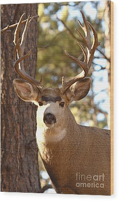 Portrait Of A 15-point Buck Wood Print