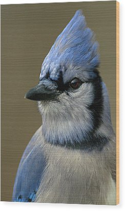 Portrait Of A Bluejay Wood Print