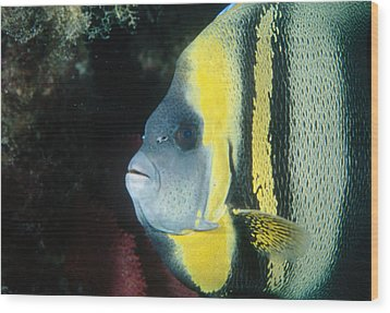 Portrait Of A Cortez Angelfish Wood Print by James Forte