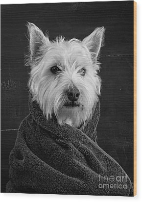 Wood Print featuring the photograph Portrait Of A Westie Dog 8x10 Ratio by Edward Fielding