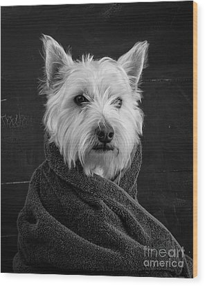 Portrait Of A Westie Dog Wood Print by Edward Fielding