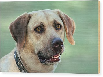 Portrait Of A Yellow Labrador Retriever Wood Print by Sheila Brown