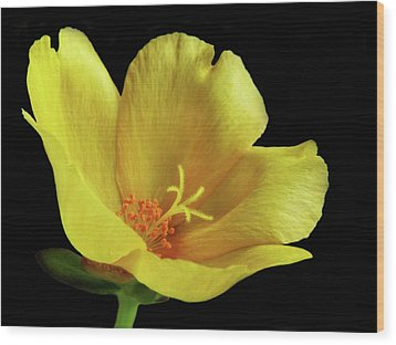 Wood Print featuring the photograph Portrait Of A Yellow Purslane Flower by David and Carol Kelly