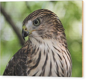 Portrait Of A Young Cooper's Hawk Wood Print