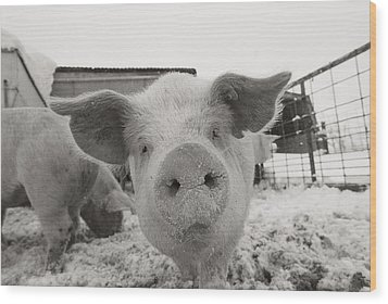 Portrait Of A Young Pig. Property Wood Print by Joel Sartore