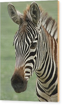 Portrait Of A Zebra Wood Print by Barbara  White