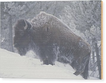 Portrait Of An American Bison Wood Print by Michael Melford