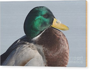 Portrait Of Mallard Duck Drake With Feather Wood Print by Merrimon Crawford