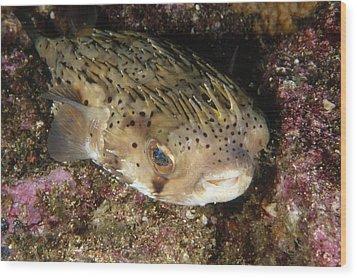 Porupinefish Close-up Portrait Sleeping Wood Print by James Forte