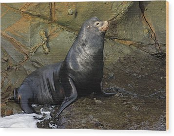 Posing Sea Lion Wood Print by Randall Ingalls