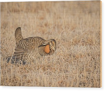 Wood Print featuring the photograph Prairie Chicken 9-2015 by Thomas Young