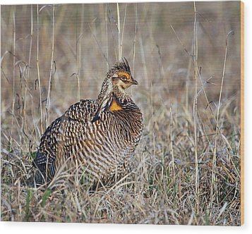 Wood Print featuring the photograph Prairie Chicken - Portrait by Nikolyn McDonald