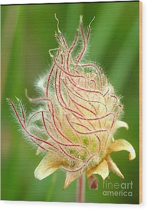 Prairie Smoke 1 Wood Print