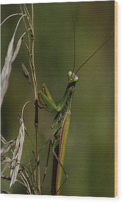 Praying Mantis 2 Wood Print