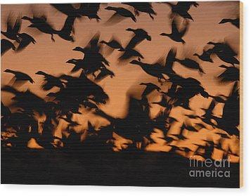 Pre-dawn Flight Of Snow Geese Flock Wood Print by Max Allen