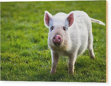 Precocious Piglet Wood Print by Justin Albrecht