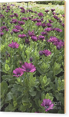 Prescott Park - Portsmouth New Hampshire Osteospermum Flowers Wood Print by Erin Paul Donovan