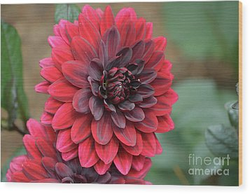 Pretty Blooming Red Dahlia Flower Blossom Wood Print