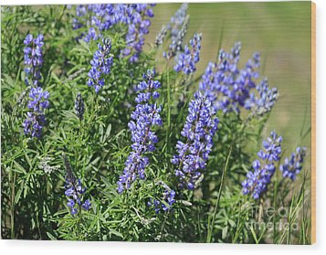 Pretty Blue Flowers Of Silky Lupine Wood Print by Louise Heusinkveld