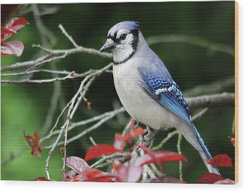 Pretty Blue Jay Wood Print