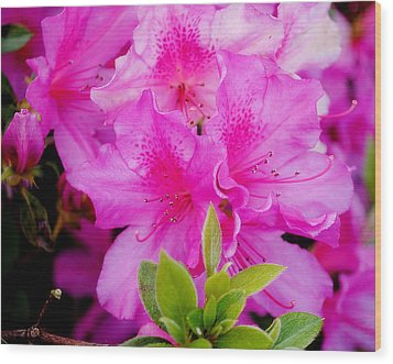 Wood Print featuring the photograph Pretty In Pink by Laura DAddona