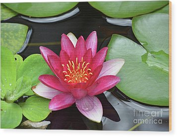 Pretty Red Water Lily Flowering In A Water Garden Wood Print