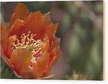 Prickly Pear Bloom Wood Print by Laura Pratt