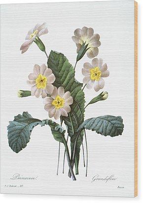 Primrose (primula Aucalis) Wood Print by Granger