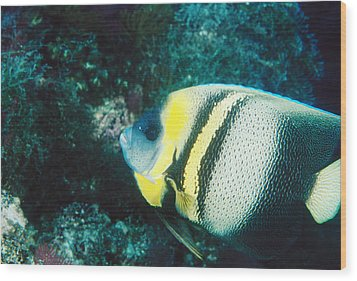 Profile Of A Cortez Angelfish Wood Print by James Forte