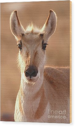 Wood Print featuring the photograph Pronghorn Antelope Doe In Soft Light by Max Allen