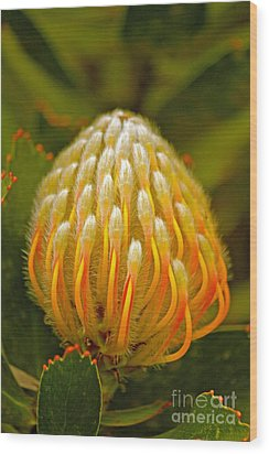 Proteas Ready To Blossom  Wood Print by Michael Cinnamond