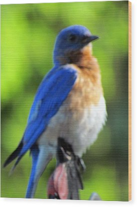 Proud Bluebird Out Kitchen Window Wood Print by Betty Pieper