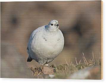Ptarmigan Going For A Stroll Wood Print