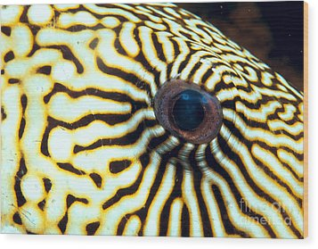 Pufferfish Wood Print by Dave Fleetham - Printscapes