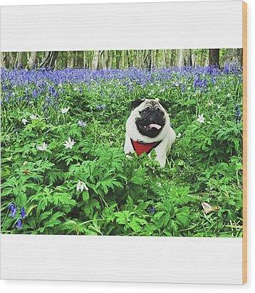 #pugstagram #pugsofinstagram #bluebell Wood Print by Natalie Anne