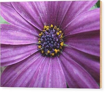 Purple African Daisy Wood Print