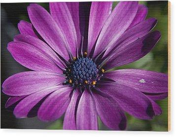 Purple African Daisy Wood Print by Robert  Torkomian